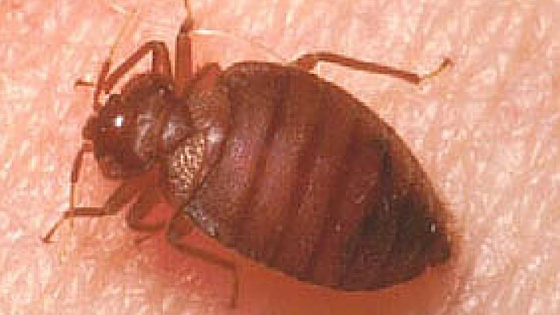What to do when you have bed bugs, how to react, and other important things to note at www.thelitebackpacker.com